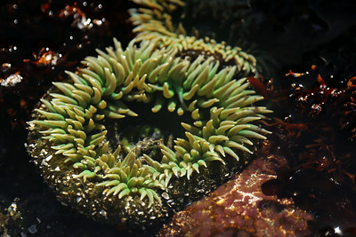 Sea Anemonae