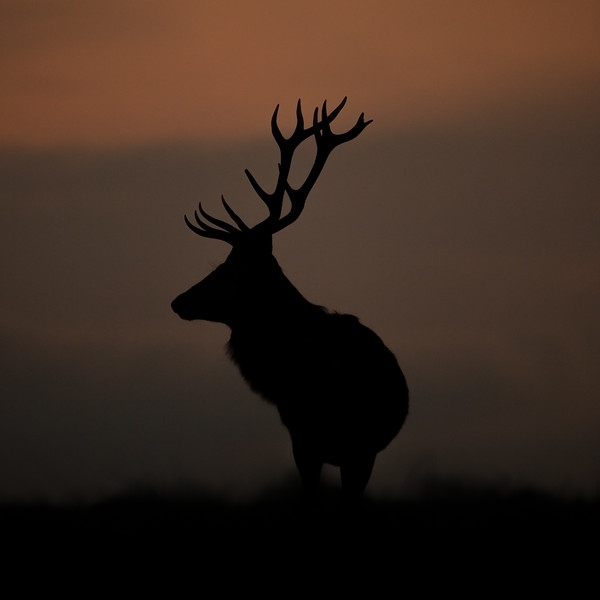 Stag on the Horizon