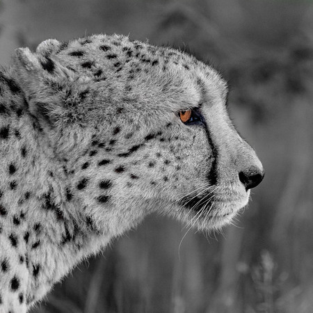 Cheetah's Eye
