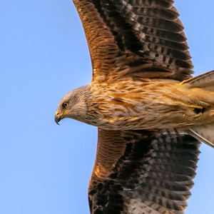 Red Kite close up