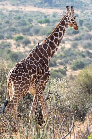 Giraffe: 18