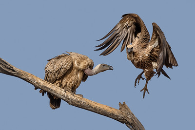 Dance of The Vultures