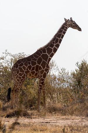 Giraffe: 19