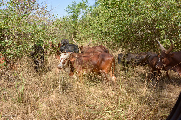 Local cattle is allowed to graze in the sanctuary during the day