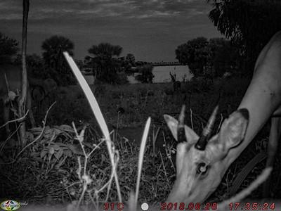 Camera-trap: Impala