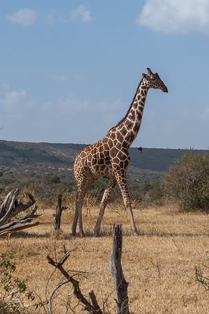 Giraffe: 16