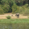 Elephant, bushbuck and warthog on the shore