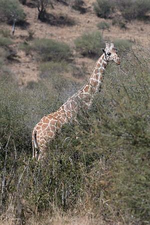 Giraffe: 4
