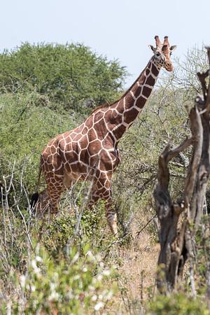 Giraffe: 15