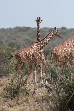 Giraffe: 10