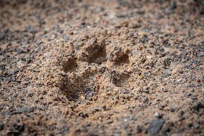 Brown Hyena tracks