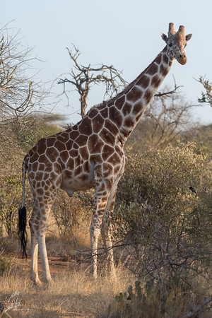 Giraffe: 21