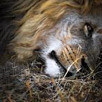 Lay Lion Lay