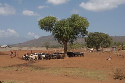 Zebu with Masai Shepherds