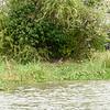 A really big Nile Crocodile sunbathing on the river bank