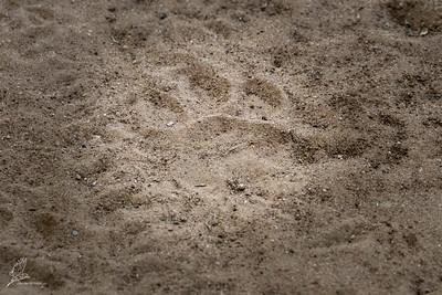 Lion pugmark.