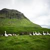 Faroe Geese