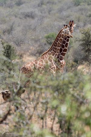Giraffe: 11