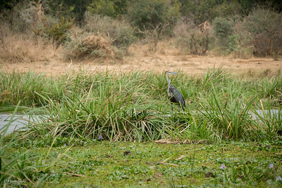 With a height of 152 cm, Goliath is an applicable name for this Heron.