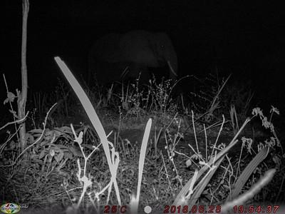 Camera-trap: Elephant