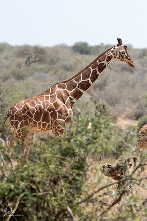 Giraffe: 12