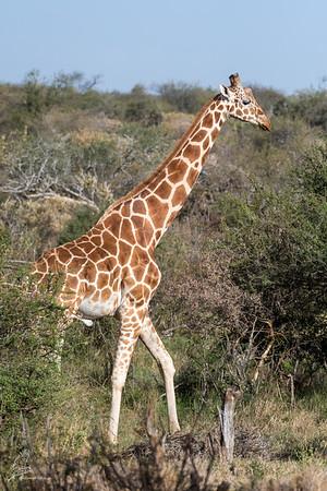 Giraffe: 20