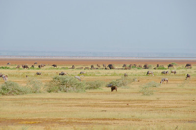 1: Buffalo, Zebra, Warthog, Wildebeest & Flamingo at Lake Manyara