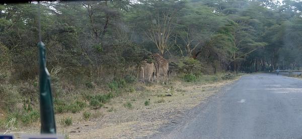 Giraffe just browsing near the road to Naivasha