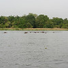 Hippo in the shallow waters