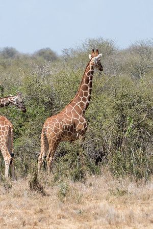 Giraffe: 8
