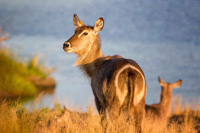 Waterbuck Sunset