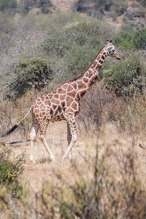 Giraffe: 5