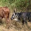 Cattle have large dewlap
