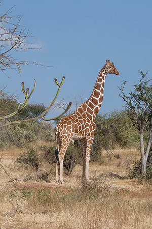 Giraffe: 17