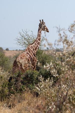 Giraffe: 6