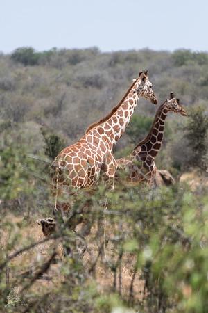 Giraffe: 13