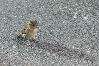 A lovely female sparrow
