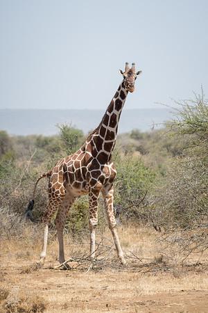 Giraffe: 7
