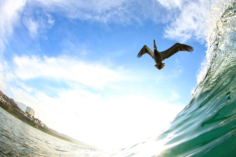 Surfing Pelican