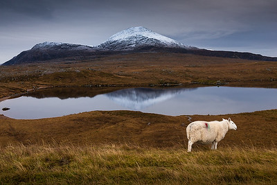 Roadside sheep near Loch Assynt