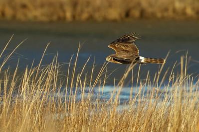 Northern Harrier, Edwin B. Forsythe National Wildlife Refuge, NJ