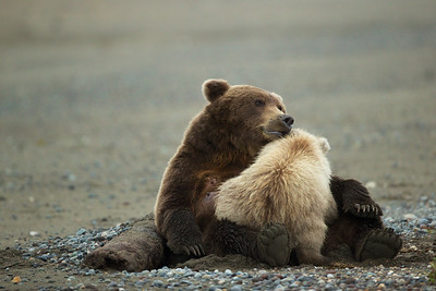 The first cub, a male, reaches his mother to begin feeding. She embraces him and shows him affection.