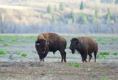 Bull and Cow Bison court each other - Antelope Flats, Wyoming