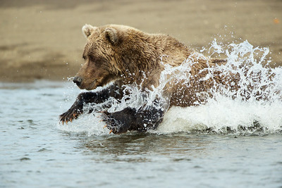 Coastal Brown Bear attempting to catch salmon swimming up stream. Lake Clark National Park, AK.