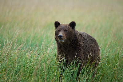 Coastal Brown Bear yearling, Lake Clark National Park, AK.
