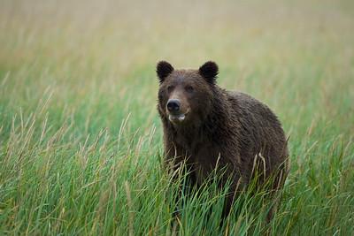 Coastal Brown Bear yearling, Lake Clark National Park, AK.