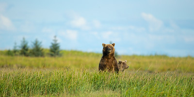 Sow and cub looking for other bears. Lake Clark National Park, AK