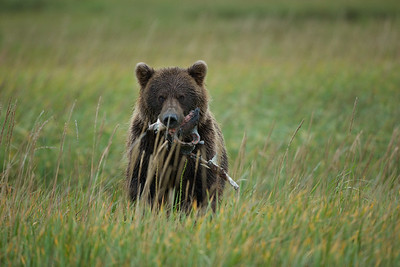 After being separated from the group I was shooting with, this female Bear spotted me alone and ran up to me with a salmon carcass in her mouth. I guess she was trying to scare me away. I stood my ground and she eventually ran off to her cub. Do not try this at home.