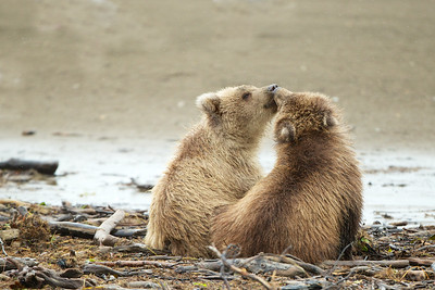 Two cubs in a display of affection. The blonde cub is a male. - Lake Clark National Park, AK