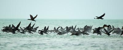 Comorants on a sandbar in flight